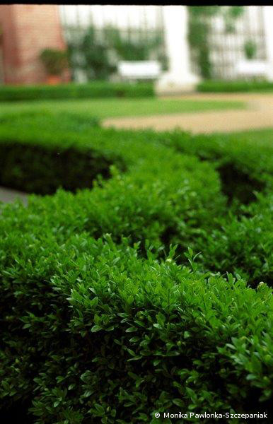 Buxus sempervirens.PAWL.2