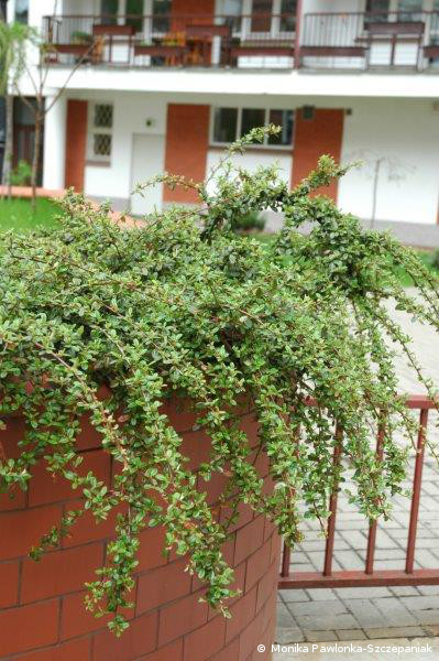Cotoneaster radicans Eichholz.PAWL.7
