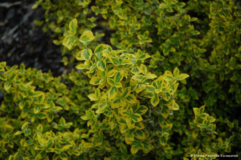 Euonymus fortunei Emerald n Gold.PAWL.1