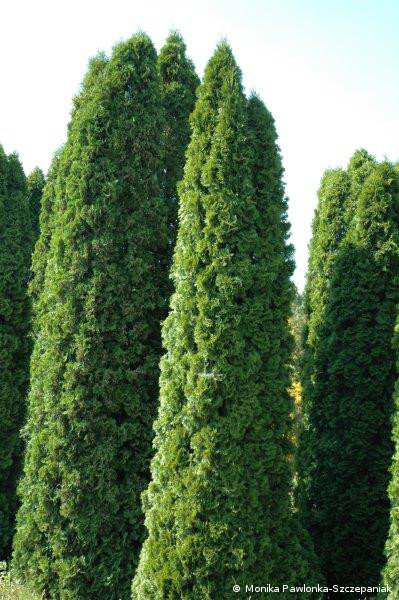 Thuja occidentalis Smaragd.PAWL.1